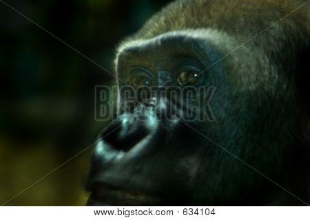 Stareing Gorilla