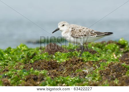 A Sanderling (Calidris alba) standing on seaweed covered rocks at low tide poster