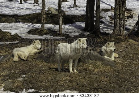 A pack of Arctic Wolves