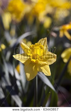 Yellow Daffodil Flowers In The Spring