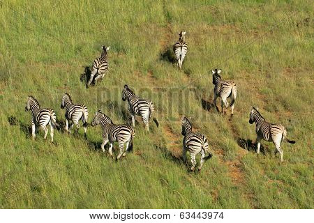 Aerial view of Plains (Burchells) Zebras (Equus burchelli) in grassland, South Africa