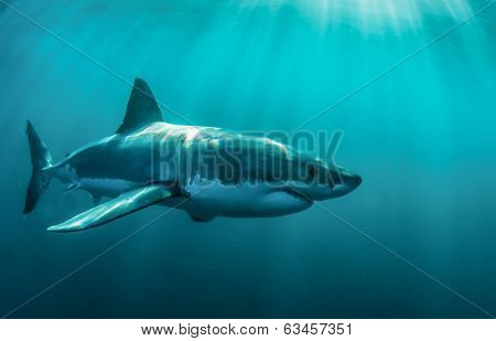 Great white underwater
