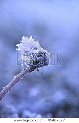 Dandelion Covered In Frost