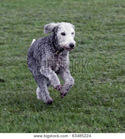 Bedlington Terrier Running