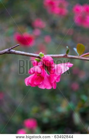 Close Up Of Peach Blooming Branch