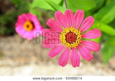 Zinnia Flower, Or Zinnia Violacea Cav
