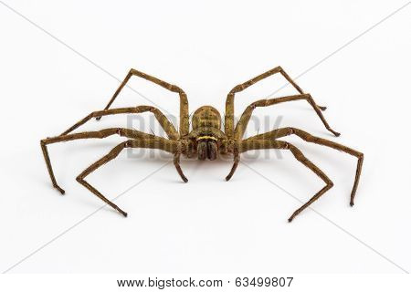 Large House Spider.