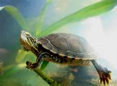 A painted turtle swimming among some aquatic plants poster