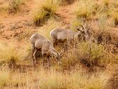 Rocky Mountain Sheep poster