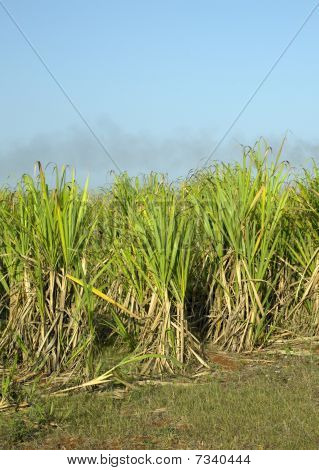 sugar cane field at Rene Fraga, Cuba poster