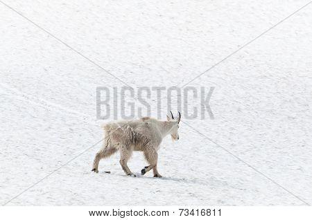 Mountain Goat On The Snow