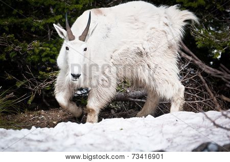 Mountain Goat On The Patch Of Forest Bed