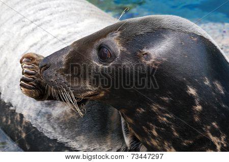Seal (pinniped)