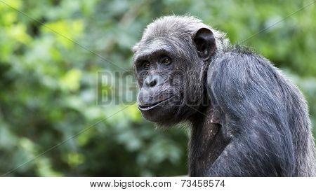 smirking chimp