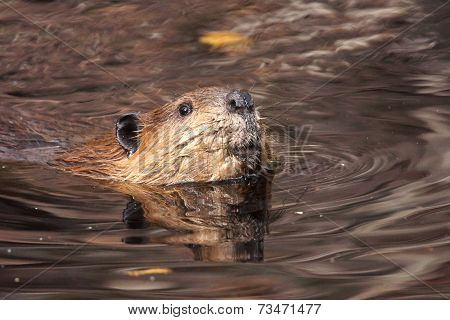 Swimming Beaver Looking Up