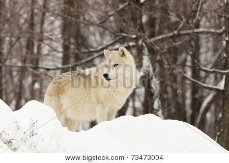 A lone Arctic Wolf in winter