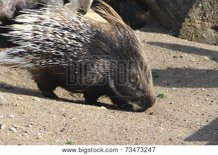 Porcupine   (hystricidae)