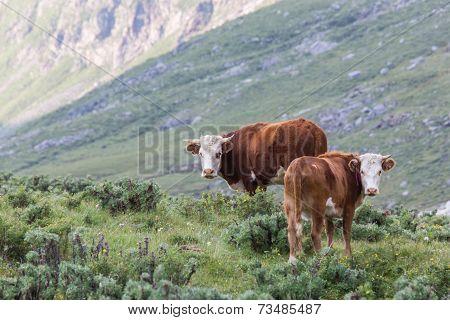 Cows At Alpine Meadows