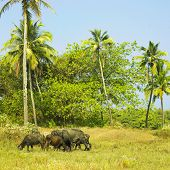 Herd of Asian buffaloes bulls and cows graze on the pasture India poster