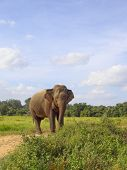 a sri lankan elephant on a sandy track in wasgomuwa national park poster