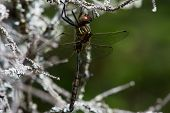 Hine's Emerald dragonfly hanging from a branch. poster