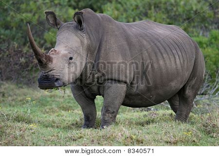 White Rhino Portrait