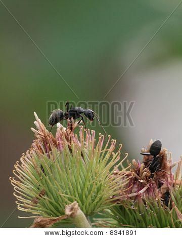 Black Carpenter Ants