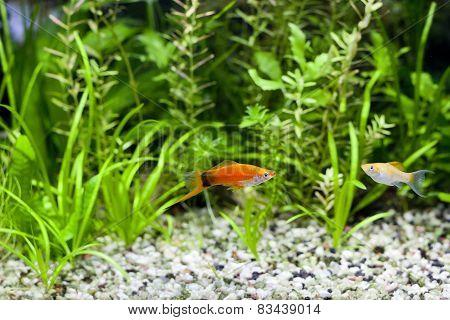 Aquarium Swordtail And Molly