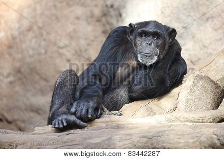 relaxed chimp