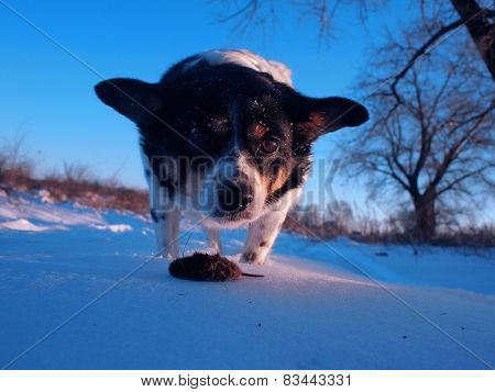 small dog catch the mouse in the winter field