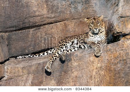Leopard on a rock watching