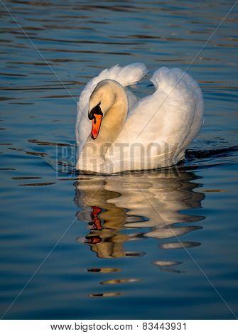 Impressive Male Swan On Sunlit Lake