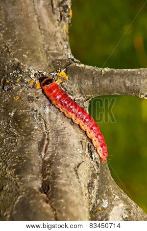 The Big, Bright Beautiful Caterpillar Creeps On An Apple-tree Trunk