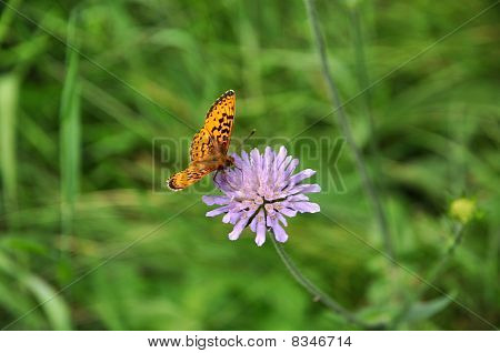 Trifolium With Butterfly