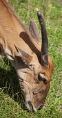 Portrait of a one-horned common Eland eating grass poster