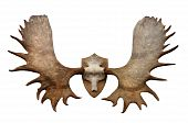 Hunt throphy on the wall - horns of North Siberian Elk poster