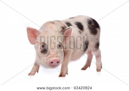 Pink With Black Spots Miniature Pig
