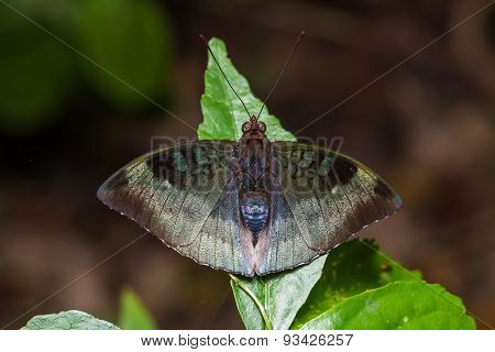Powdered Baron Or Malay Baron Butterfly