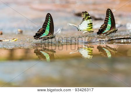 Group Of Graphium Butterflies