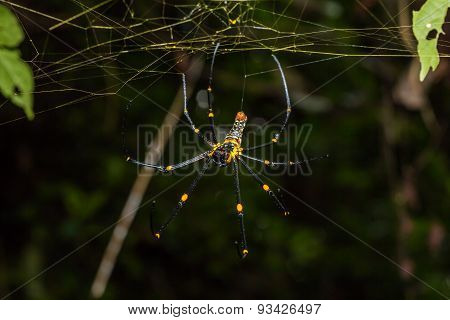 Golden Orb Weaver Spider