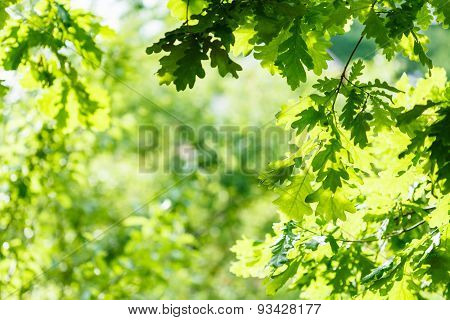 Green Oak Leaves In Summer Sunny Day