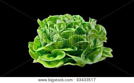 Batavia Lettuce.