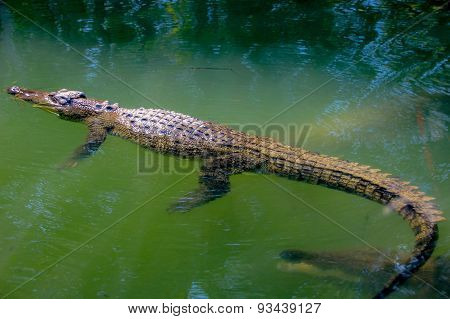 Crocodile Floating On The Water Surface