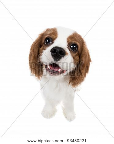 closeup vertical portrait pure-bred dog puppy Cavalier King Charles Spaniel on white background isolated poster