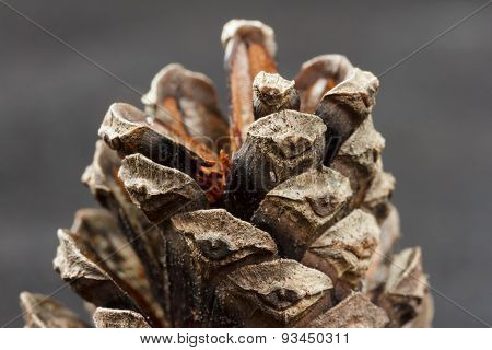 Cone from a scots pine against a gray background