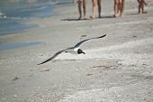 A juvenile laughing gull flies at the edge of a Gulf Coast Florida beach with a group of beachgoers in the background. poster