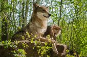 Grey Wolf (Canis lupus) Mother and Pup Sit Atop Rock - captive animals poster