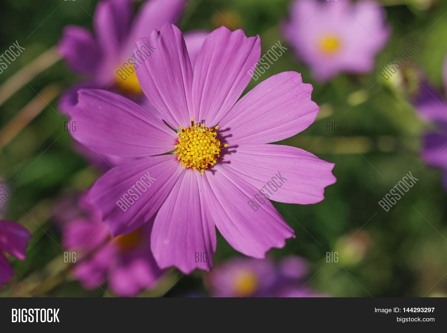 Pink purple flower image photo free trial bigstock pink purple flower like a daisy in the light of the setting sun izmirmasajfo