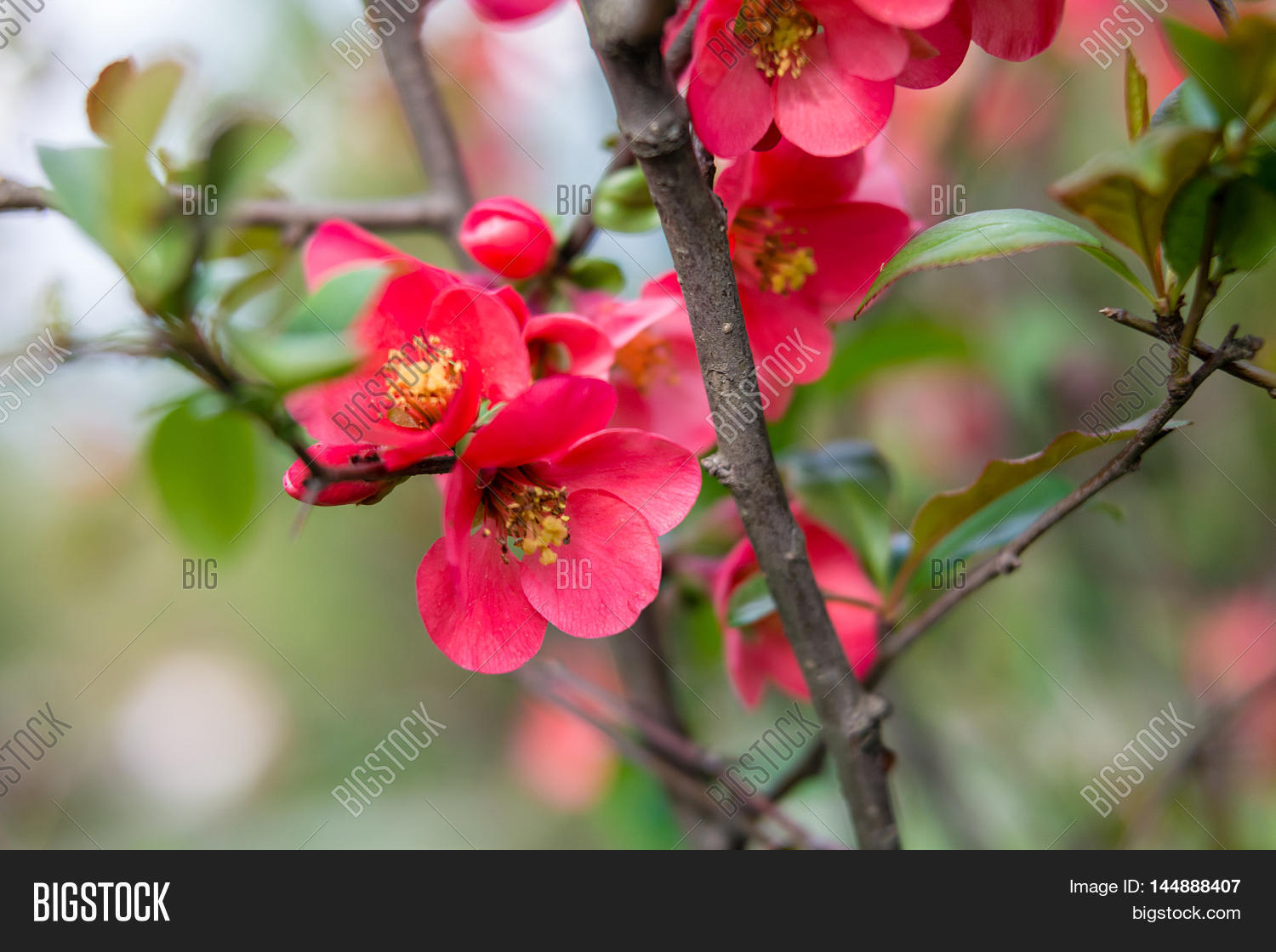 Purple flowers tree name flowers healthy beautiful red pink and purple flowers of crab apple tree with the botanical name of beautiful red pink image photo free trial bigstock mightylinksfo