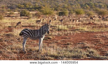 picture of a zebra and impala in Madikwe, South Africa.